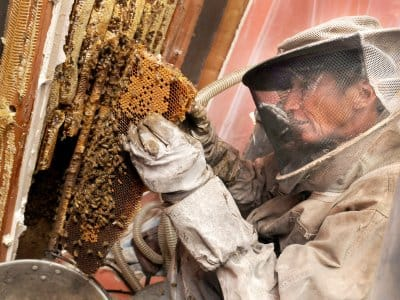 Bee and hive removal from interior home wall