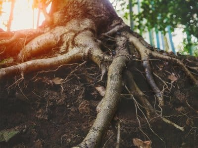 Tree roots in dirt