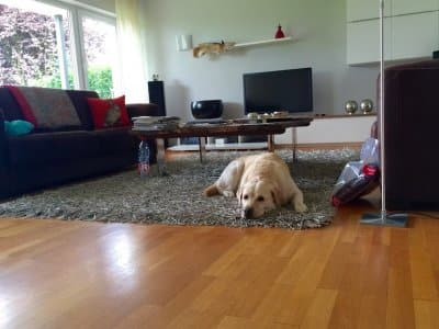 yellow labrador lies on rug in living room with hardwood floors