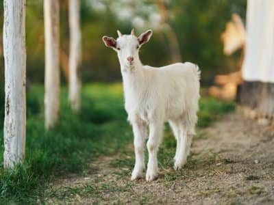 young goat in nature