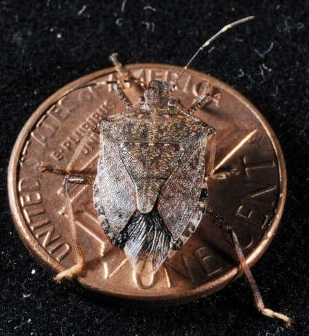 Brown marmorated stink bug on a penny for scale