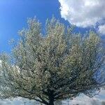 A flowering Bradford pear tree