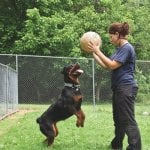 pet boarding facility employee playing with a Rottweiler