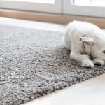 little white dog lying on carpet in the living room (Photo by Westend61 via Getty Images )