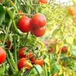 Tomatoes growing in garden (Photo by Sawitree Pamee / EyeEm via Getty Images)