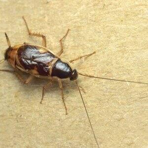 cockroach closeup
