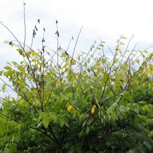 tree with dutch elm disease