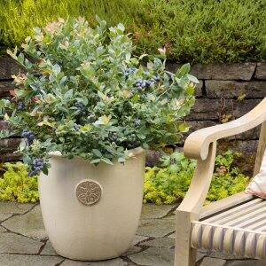 blueberry bush in planter