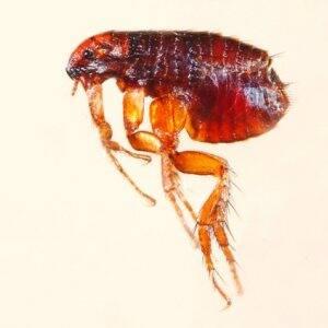 microscopic view of a flea