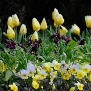 Pansies, violas and other early spring flowering annuals make good companions for spring flowering bulbs, and are a good choice for new gardeners.  (Photo by Photo courtesy of the Chicago Botanic Garden)