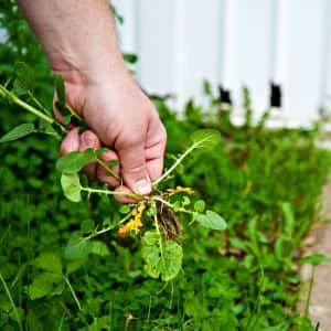 man holding lawn weed in hand