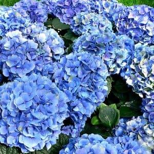 blooming blue hydrangeas