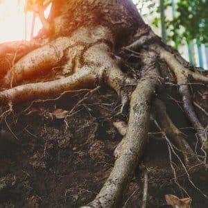 Tree roots in dirt (Photo by Zakalinka - stock.adobe.com )