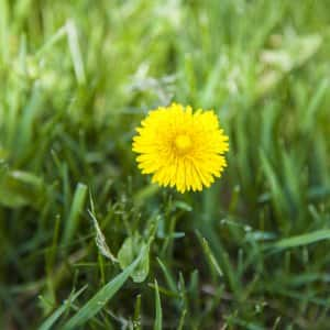Weeds can be a pain, but some regular care can keep your garden and lawn weed-free. (Photo by Katelin Kinney)
