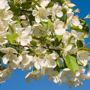 Bradford pear's white blossom in springtime (Photo by RiverNorthPhotography /iStock via Getty Images)