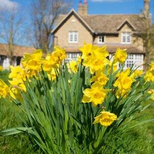 closeup of a bunch of yellow daffodil flowers with two-story tan house in the background (Photo by drimafilm - stock.adobe.com)