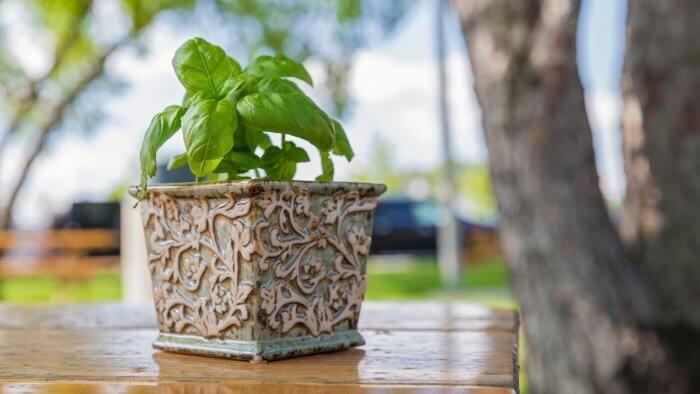 planted basil