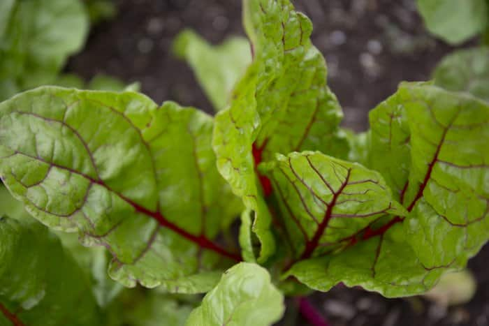garden greens plant