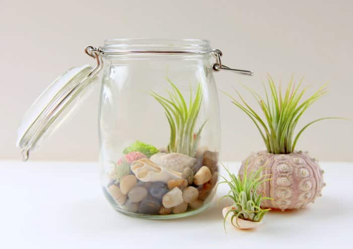 air plants displayed in shells and jar