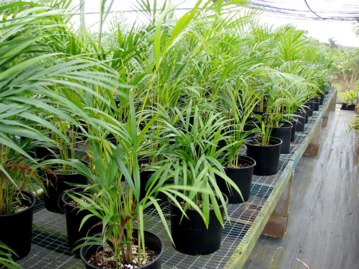"""The """"butterfly"""" or """"bamboo"""" palm can get pricey for a taller version. Stick to medium or smaller sized versions for a more economical purchase. (Photo courtesy of Forest and Kim Starr)"""