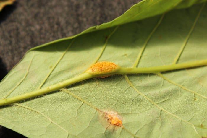 ash rust tree fungus disease