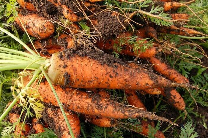 fresh carrots from vegetable garden