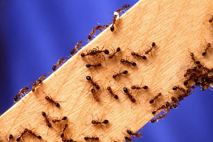 fire ants crawling over wooden board