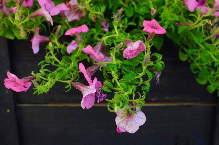 pink petunias hanging over planter