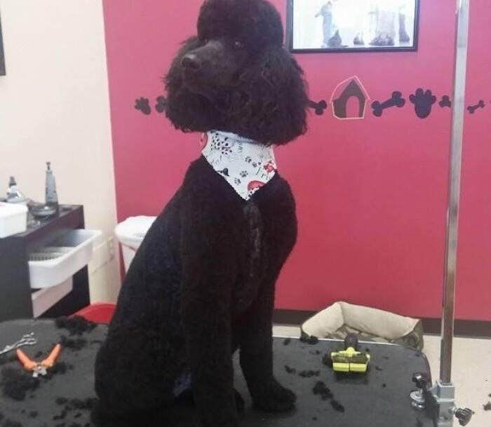 black poodle grooming