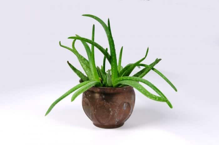 Aloe is easy to grow and provides many benefits. (Photo courtesy of Eldon Lindsay)