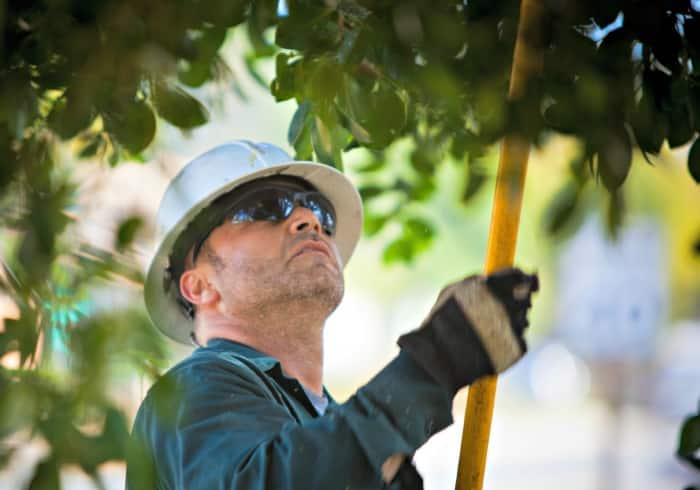 man trimming tree