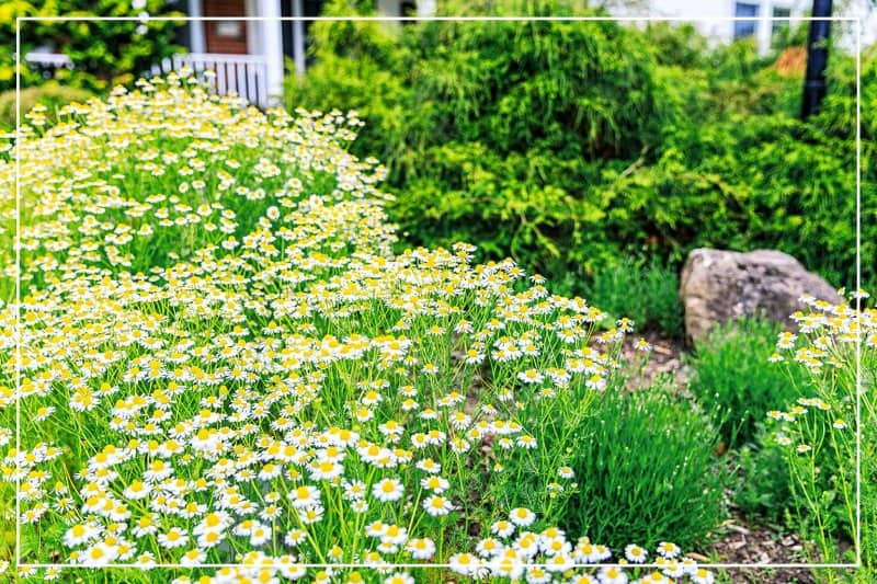 backyard garden with chamomile flowers blooming (Photo by Willowpix / iStock / Getty Images Plus via Getty Images)