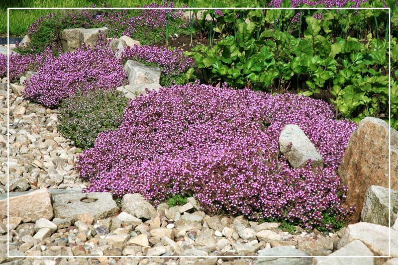red creeping thyme growing along rocks (Photo by fotokate / iStock / Getty Images Plus via Getty Images)