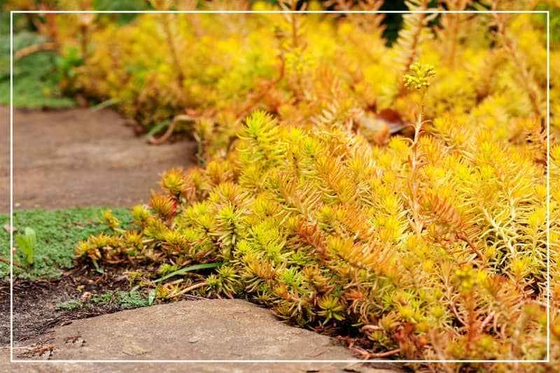 stonecrop succulents along garden path (Photo by speakingtomato / iStock / Getty Images Plus via Getty Images)