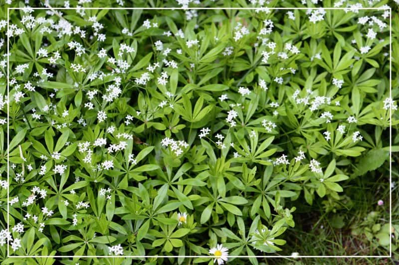 sweet woodruff flowers up close (Photo by hsvrs / iStock / Getty Images Plus via Getty Images)