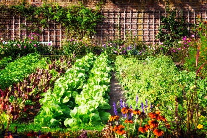 Grow your plants in a row for larger vegetable gardens. (Photo courtesy of Getty Images/iStock Photos)
