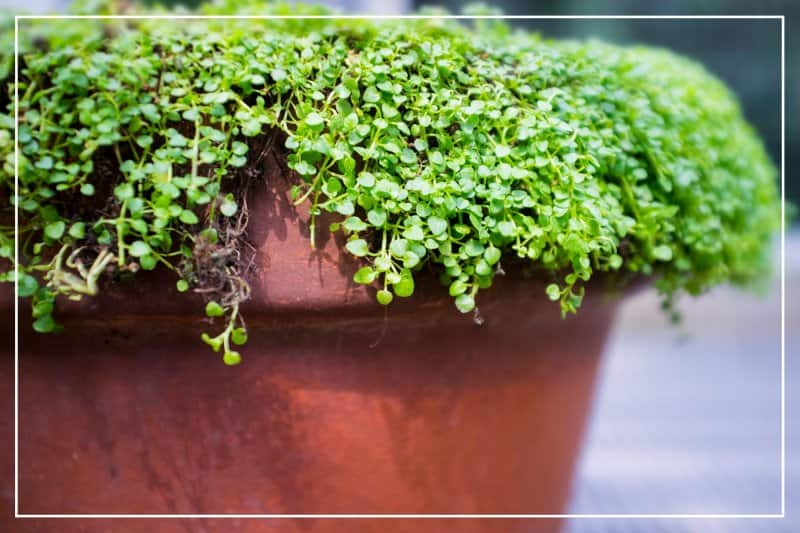Corscican mint in red planter (Photo by Diane Labombarbe/ iStock/ Getty Images Plus via Getty Images)
