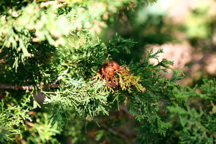 Look for signs of disease on trees, shrubs and plants. (Photo courtesy of Melissa Caughey/Tilly's Nest)