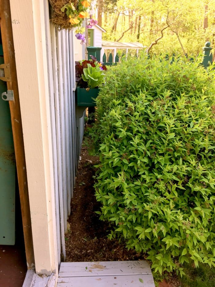 After foundation pruning, there is plenty of space for the plant to grow. (Photo courtesy of Melissa Caughey/Tilly's Nest)