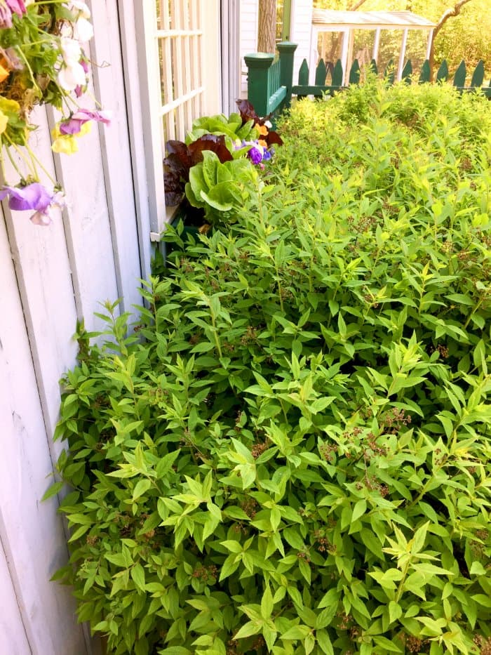 Some plants can use a pruning to keep a safe distance from the house. (Photo courtesy of Melissa Caughey/Tilly's Nest)