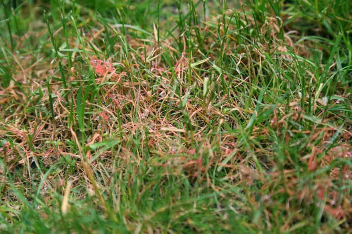 Lawns are susceptible to diseases, like red thread. (Photo courtesy of Melissa Caughey/Tilly's Nest)