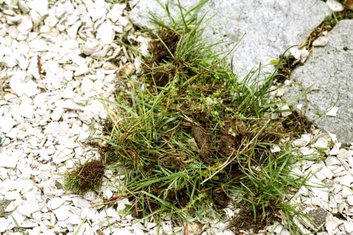 Pulling weeds by hand will cause the least amount of damage. (Photo courtesy of Melissa Caughey/Tilly's Nest)