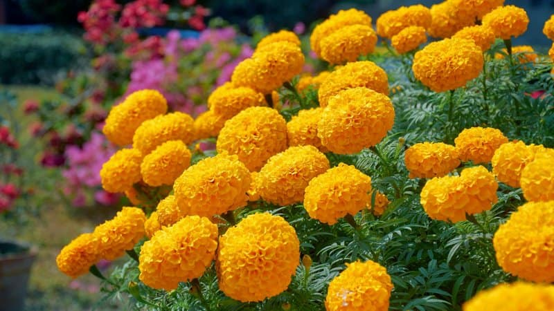 African Marigold (Photo by suprabhat / Shutterstock.com)