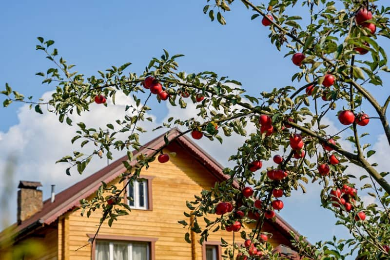 an apple tree in front of wood house  (Photo by © dizfoto1973 - stock.adobe.com)