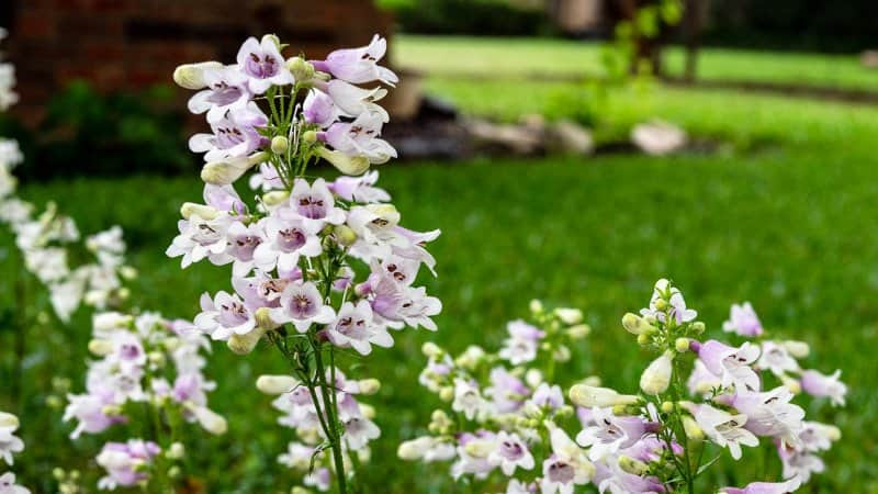 beardtongue  (Photo by Stanley Ford / Shutterstock.com)