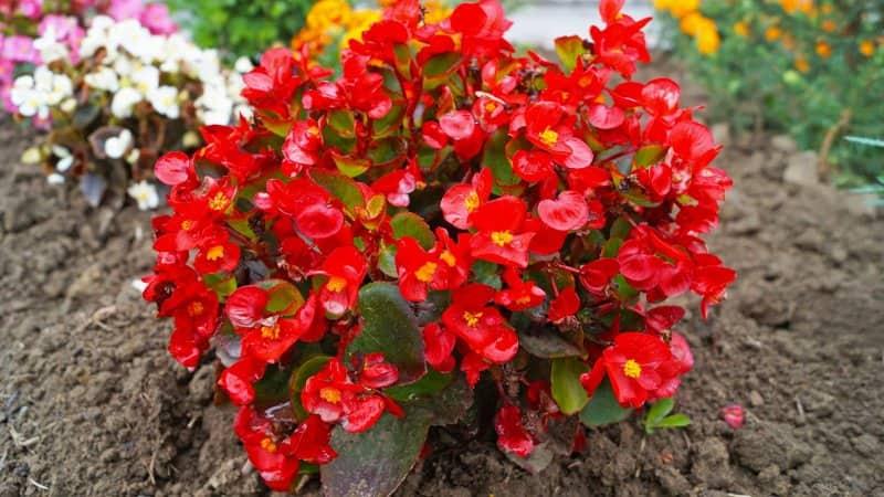 Begonia (Photo by Vera Konkevich / Shutterstock.com)