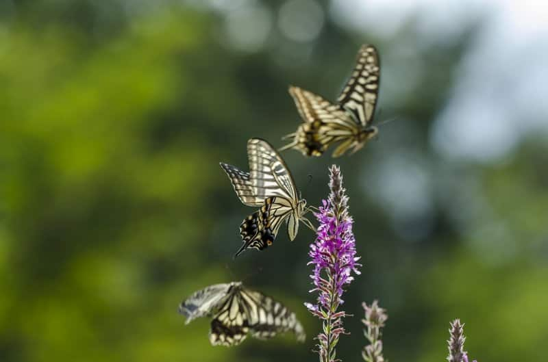 Three butterflies on a flower (Photo by ©  gabee-in / Adobe Stock)