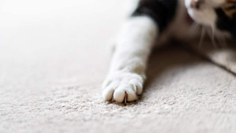 Close up of cat claws on white carpet (Photo by Ablokhin/iStock /Getty Images Plus via Getty Images)