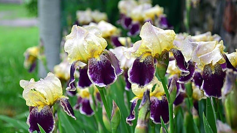iris  (Photo by Krzysztof Bubel / Shutterstock.com)