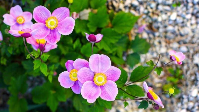 Japanese anemone (Photo by Viktoriia Adamchuk / Shutterstock.com)